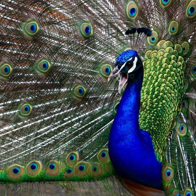 Peacocking like a peacock